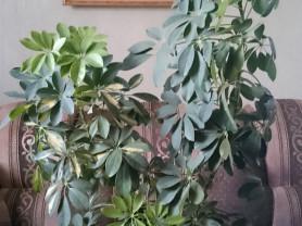 Ухоженное,взрослое растение Шефлера.
