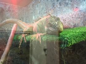 игуана зелёная