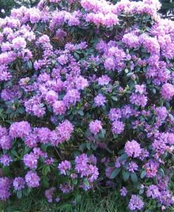 Рододендрон hybriden Catawbiense Grandiflorum 2л
