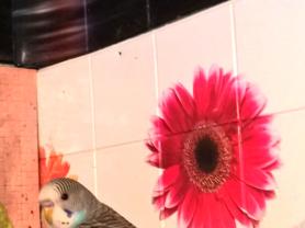 Волнистые попугаи-Птенцы  Москва-Мытищи