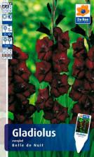 Gladiolus Belle de Nuit