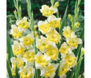 Gladiolus Buggy