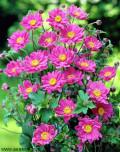 Anemone hyb. 'Pamina'