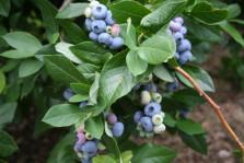 Голубика растение высотой 10-25см