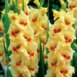 Gladiolus Marvinka