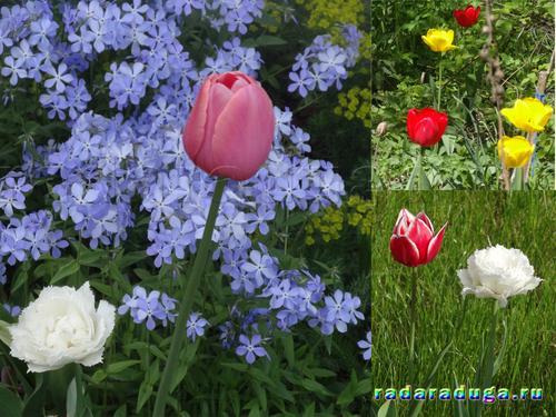 Картинки огонек цветок