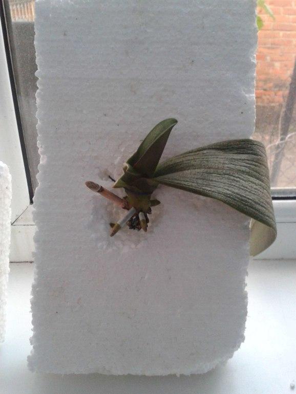 Как отрастить орхидеи корни
