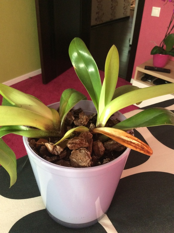 Что это за орхидея?