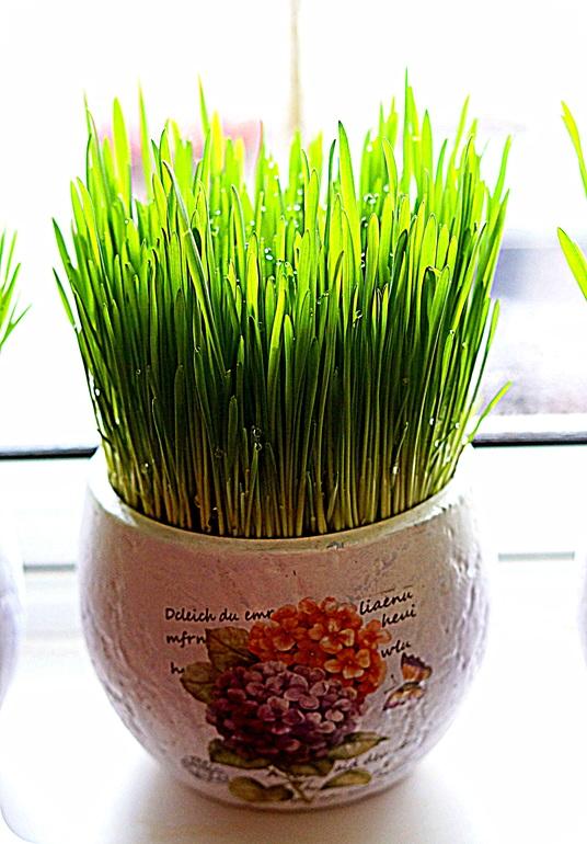 Овес для выращивания дома 5