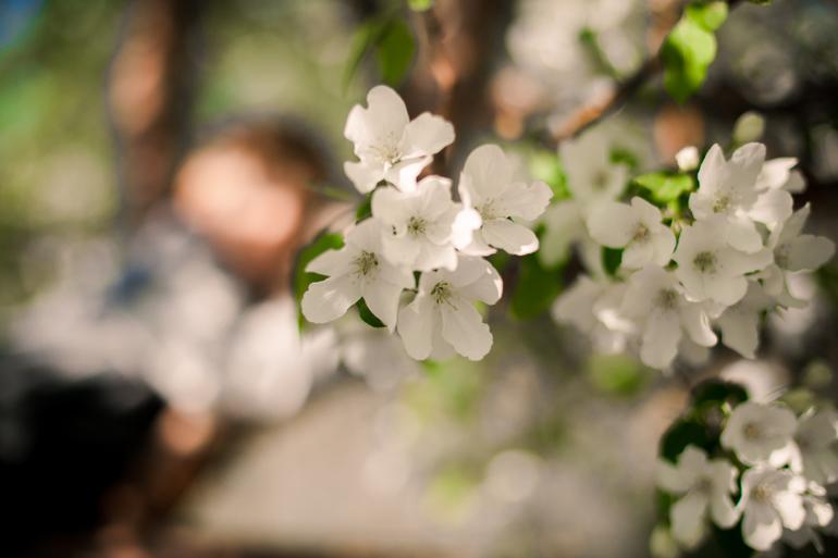 Яблони цветут...