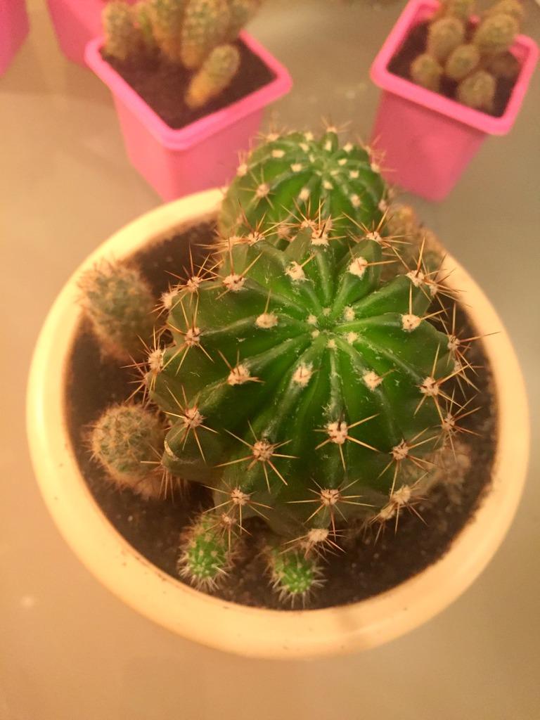 Семейка кактусов разносортных