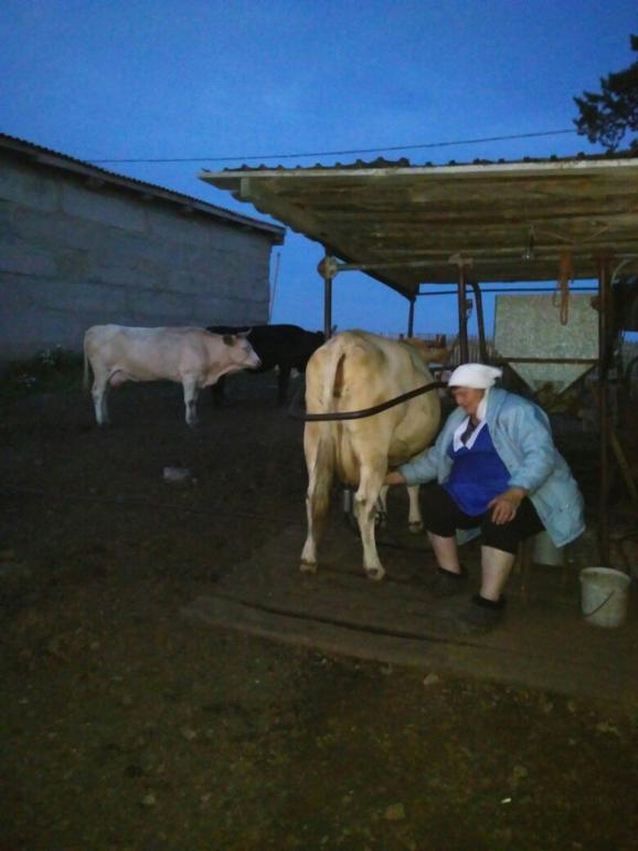 Время дойки коров в деревнях