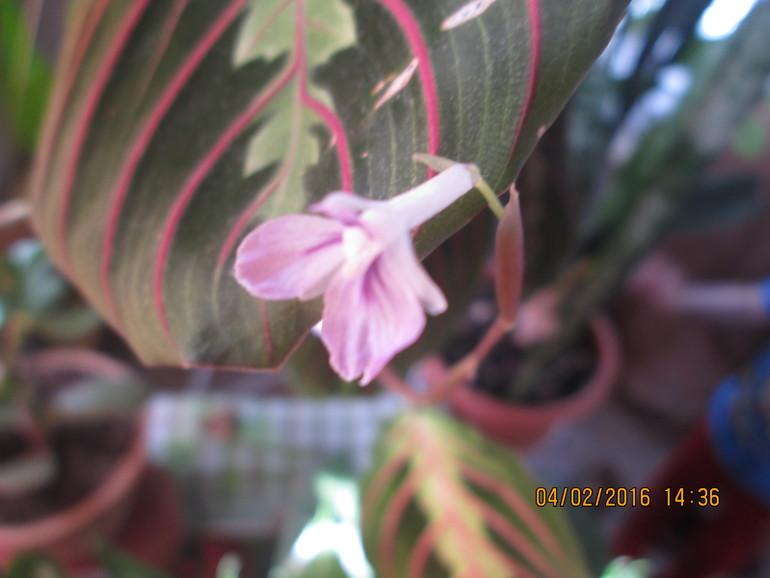 как цветет маранта