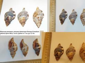 Морская раковина, ракушка Циматиум Пилеар
