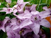 Клематис  гибридный  'Hagley Hybrid' (Хегли Хибрид)