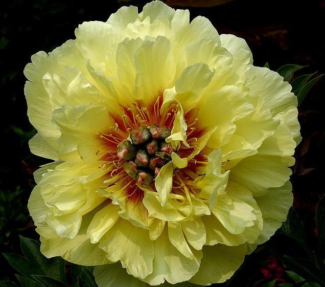 пион Garden Treasure (ИТО-гибрид)(свободно 5 шт)