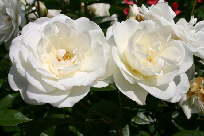 Плетистая роза Schneewittchen(свободно 8 шт)