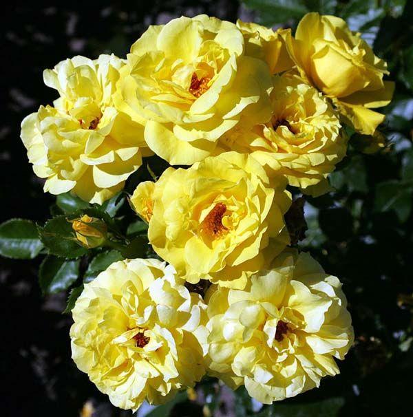 Rosa (Роза) Friesia флорибунда