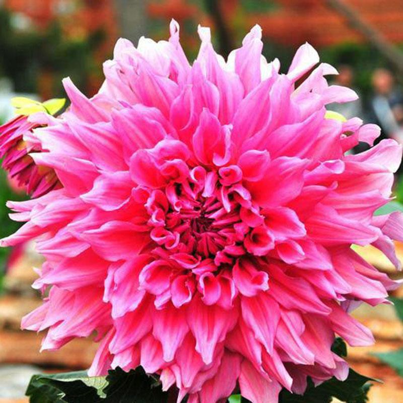 Оптовая продажа цветов георгин, цветы заказ украина