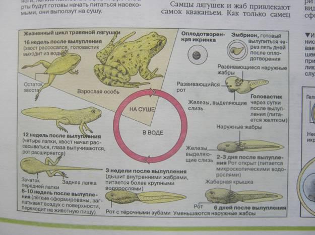 цикл развития лягушки.